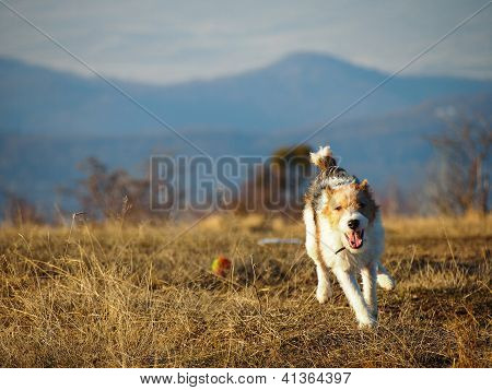 Running Fox Terrier