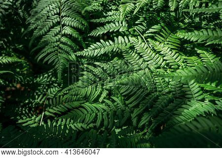 Summer Green Texture Hundreds Of Ferns. Green Fern Tree Growing In Summer. Fern With Green Leaves On