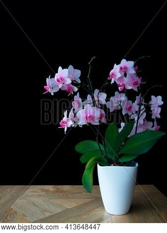 Close-up Pink Spotted Orchid,green Leaves In White Pot,wooden Table,black Background.beautiful Trend