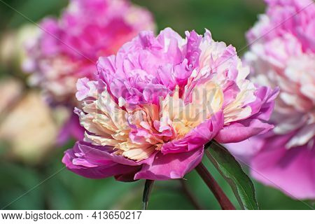 Macro View Of Big Terry Pink - Cream Pion Flower On  A Blurred Background Of Other Peonies. Flowerin