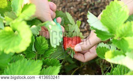Gardener Picking Strawberries In The Garden. Farmer With Fresh Organic Fruit In Harvest Season.