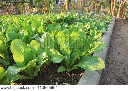 Brassica Juncea, Green Lettuce Or Lettuce On The Farm