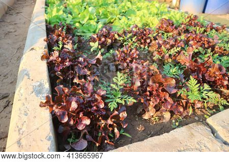 Lettuce , Green Oak Lettuce And Red Coral On The Farm