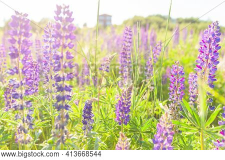Beautiful Blooming Lupine Flowers In Spring Time. Field Of Lupines Plants Background. Violet Wild Sp