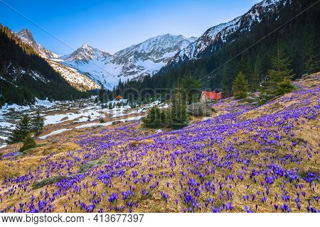 Amazing Flowery Fields With Spring Flowers And Snowy Mountains. Purple Saffron Flowers On The Forest