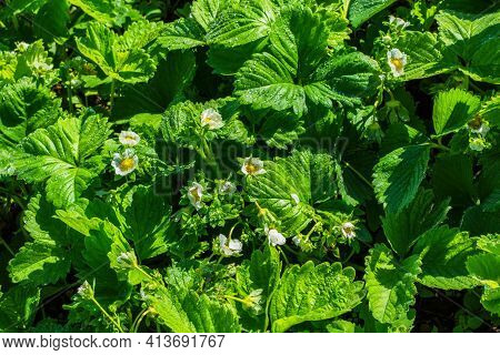 Bushes Of Blooming Strawberries (latin: Fragaria) With Water Drops After Rain, Close-up. Flowering O