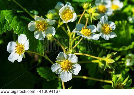 Blooming Strawberry Bush (latin: Fragaria) Close-up. Flowering Of Strawberry Bushes In The Garden.