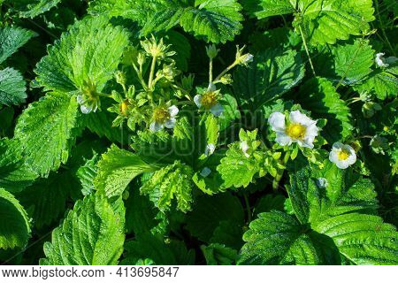 Blooming Strawberry Bush (latin: Fragaria) With Water Drops After Rain, Close-up. Flowering Of Straw