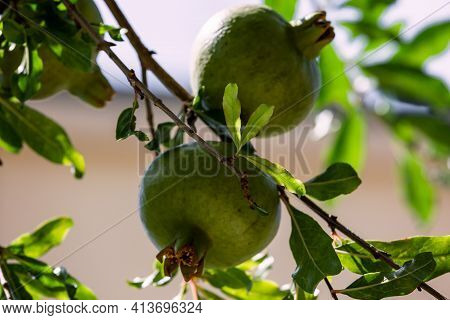 Unripe Pomegranate Fruits On Branch With Green Leaves