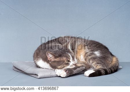 A Gray Cat Close-up With White Paws, A Yellow Belly With Slightly Open Eyes Lies On A Gray Blanket O