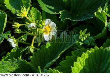 Blooming Strawberry Bush (latin: Fragaria) After Rain, Close-up. Flowering Of Strawberry Bushes In T