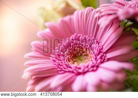 Pink Gerbera On The Pink Background Close Up, Sunny Blurred Garden View. Dream Romantic Floral Backg