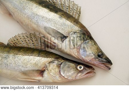 The Effect Of A Fishing Trip. Zander Or Pike Perch (lucioperca Lucioperca) Is The Greater Cousin Of