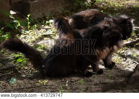 Two Black Furry Cats Cuddle Their Tails, On The Ground, In Summer, Outside The House, In Sunlight An