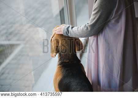 Beagle, English Beagle. Young Girl And Her Dog Looking Out The Window