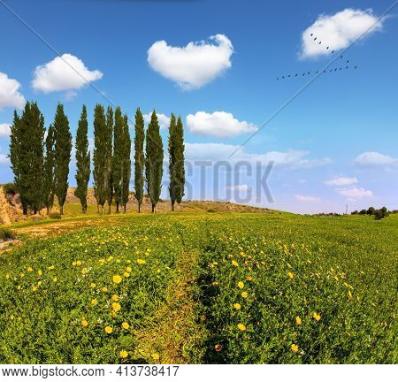 Israel. Fields of flowers in the bright southern sun. Desert acacias and cypresses. Lovely warm day. Walk in the blooming Negev desert on the outskirts of the southern city.