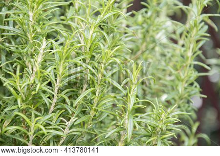 Thyme Herb Growing In A Garden. It Is A Seasoning And Cooking Ingredients.