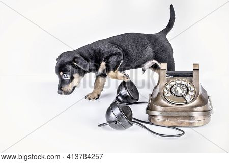 Jack Russell Puppy Dog Walks By An Old Copper And Bakelite Telephone. Telephone Receiver Is Next To