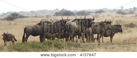 A herd of wildebeest on the grassland at Phinda Game Reserve in South Africa. The blue wildebeest (connochaetes taurinus) is a large ungulate mammal of the Bovid family that range the open plains bushveld and dry woodlands of Southern and East Africa. poster