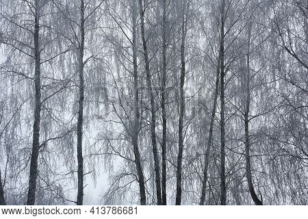 Winter Frosty Foggy Morning. The Rare Birches In Hoarfrost Growing In A Row Create An Original Backg
