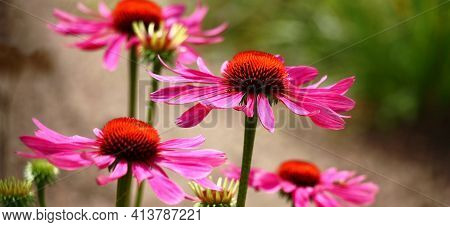 Rare Smart Flowers Of A Echinacea With The Orange Middle And Purple Petals.