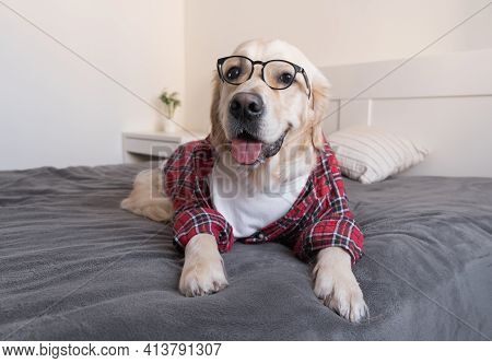 The Dog In Glasses And A Red Shirt Sits On A Bed With A Gray Plaid. Golden Retriever Dressed As A Pr