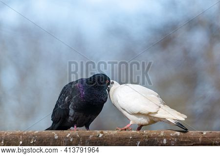 Male Black Pigeon Courting Female White Pigeon. Dove's Behavior During Loving Courtship. Love Is In