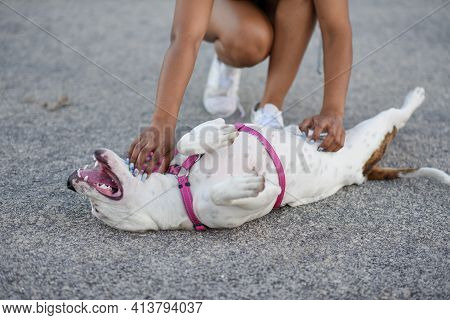 Pitbull Puppy Laying On Her Back For A Rub
