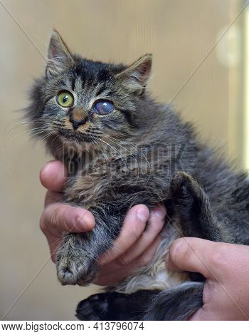 Kitten With Sore Eyes, Lesion Of The Cornea Of The Eye In Cats