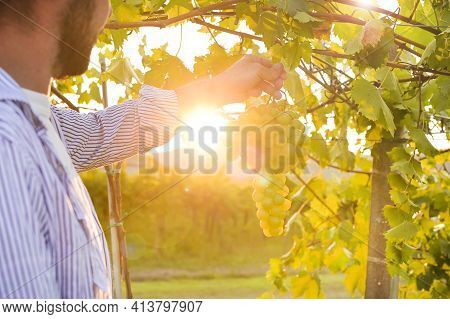 Vineyards Sunset. Sunlight At Sunset And Vineyards With Grapes In The Hills Of Italy. Person In The