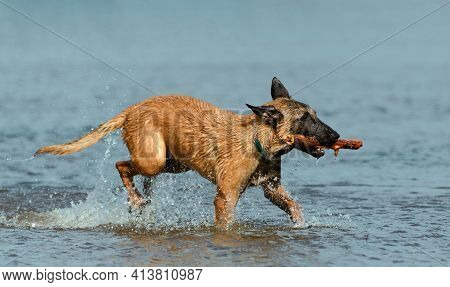 Dog With A Wooden Stick In Its Mouth Is Walking Through The Water, Side View.