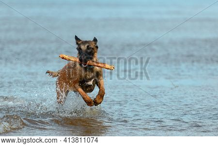 Happy Dog With A Wooden Stick In Its Mouth Is Running Through The Water.