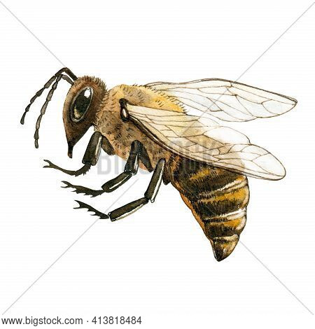 Honey Bee Close Up Watercolor Illustration. Hand Drawn Fluffy Striped Meadow Insect. Honey Bee With