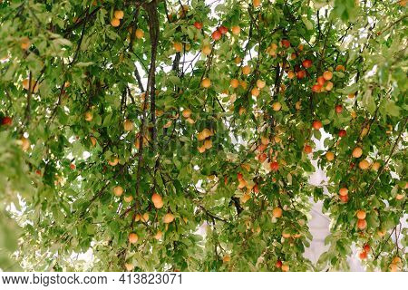 Ripe Fruits Of Yellow And Red Plum In The Plum Tree During Ripening.