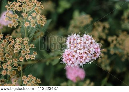 Beautiful Pink Asclepias Known As Milkweeds. Natural Wallpaper With Copy Space, Empty Text Place. Wi