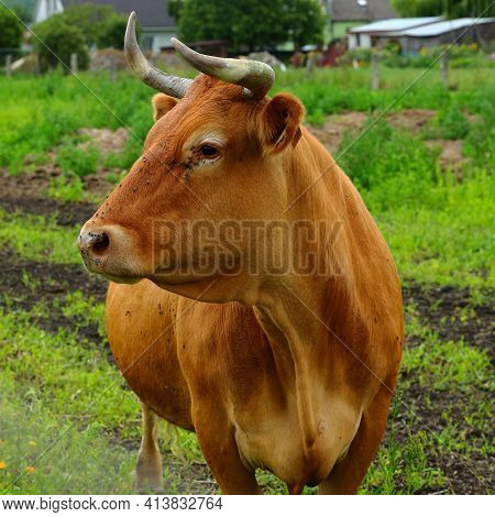 A Limousine Cow Grazing In A Rural Breeding Meadow