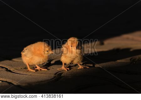 Two Newborn Little Yellow Chicken In Sun Light