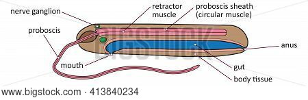 Vector Illustration Of Basic Inner Anatomy Of Nemertea - Ribbon Worm Or Proboscis Worm.