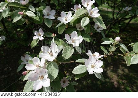 Tender Pinkish White Flowers In The Leafage Of Quince Tree In May