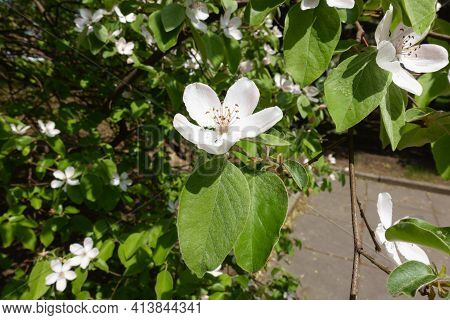 White Flowers In The Leafage Of Quince Tree In May