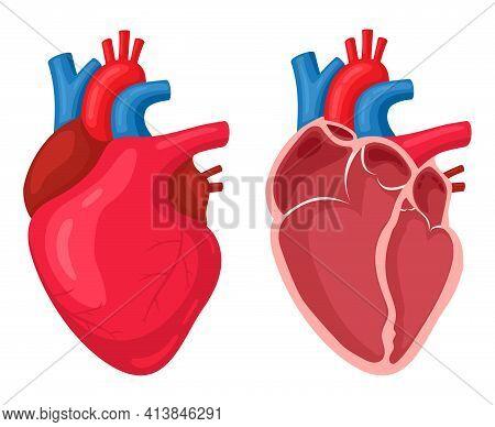 Human Heart. Anatomical Muscular Human Pumps Blood Organ, Cutaway Internal Organ With Circulatory Sy
