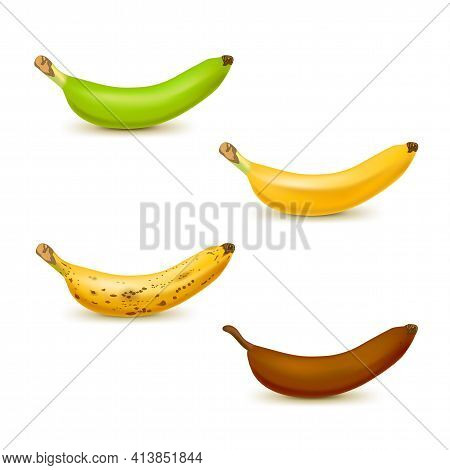 Realistic Banana Ripeness Chart Vector Illustration. Set Of 4 Different Color Bananas, Green Underri