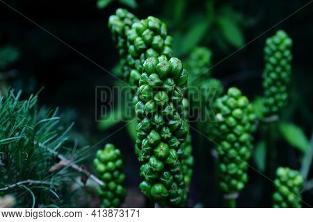 Green Balls Of Arum Italicum Blooming In The Botanical Garden In Summer