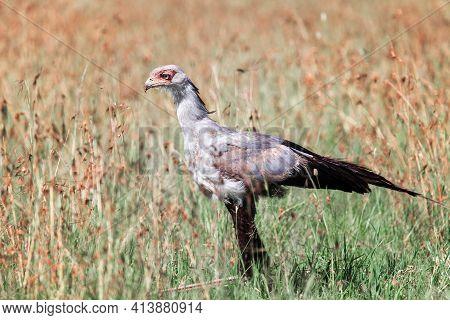 Secretarybird (sagittarius Serpentarius) In An African Savanna