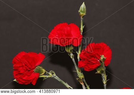 A Bouquet Of Red Carnations Close-up On A Black Background. Author's Bouquet Of Carnations On A Blac