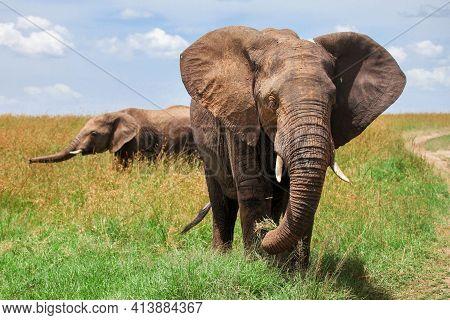 African Bush Elephants (loxodonta Africana) In A Grassland
