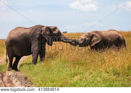 African Bush Elephants (loxodonta Africana) Touching Trunks