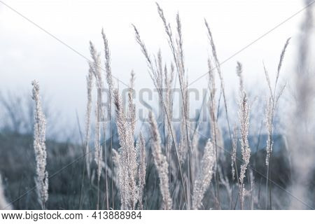 Delicate Stems Of Vegetation Typical Of The Shores Of The Lake. Soft Colors And Cold Light. Spring B