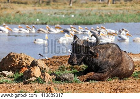 African Buffalo (syncerus Caffer) Or Cape Buffalo Laying Near The Lake With The Great White Pelicans