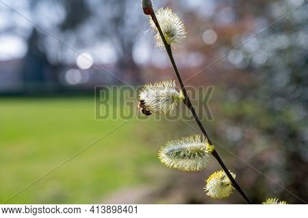 Bees Pollinate Spring Blooming Willow Tree, Flora And Fauna